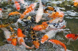 كم مره ياكل السمك الزينه في اليوم الواحد