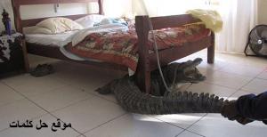 صورة تمساح تحت السرير