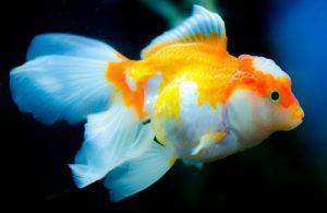 كم يعيش سمك الزينه بدون طعام