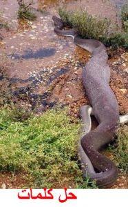 افتراس ثعبان مع تمساح