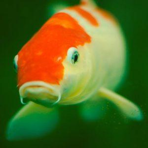 كيف اعرف ان سمكه الجولد فيش حامل