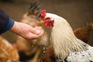 فوائد العيش الناشف للفراخ البيضه