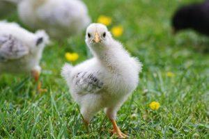 هل الخبز مفيد للدجاج
