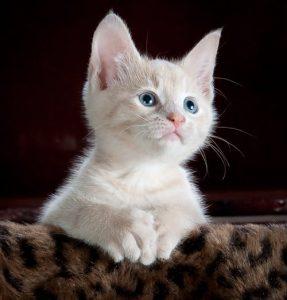 هل القطط الشيرازي تسبب العقم