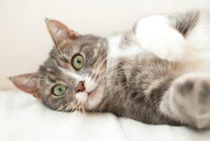 هل شعر القطط مضر للحامل