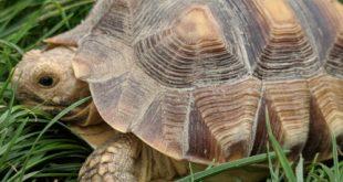 ماذا تاكل السلاحف الصغيره من البيت